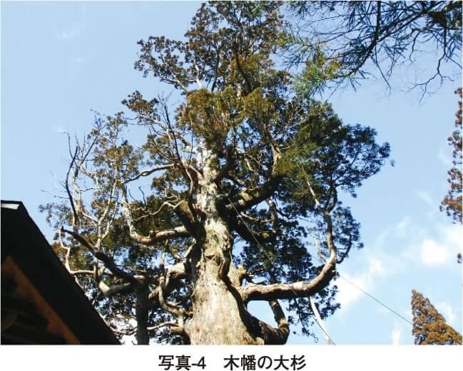 写真-4 木幡の大杉